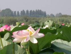 Mantova: Fiori di Loto sul Lago Superiore