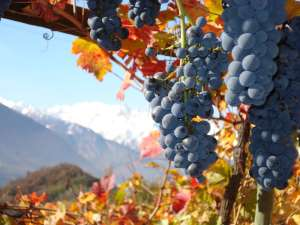 Grappolo uva Fumin Valle d'Aosta